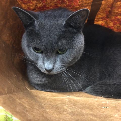 Gray cat inside brown paper bag
