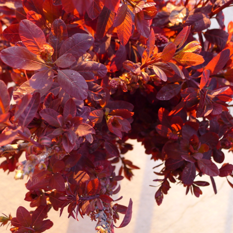 Closeup of cuttings from a purple-leafed smoke bush