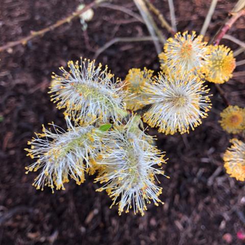 Closeup of Fothergilla in bloom