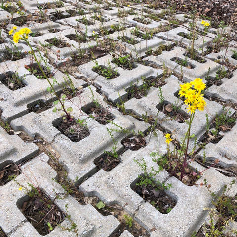 small yellow flowers growing between concrete blocks