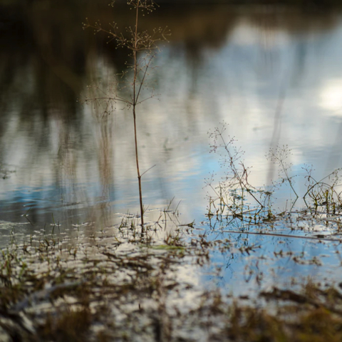 Close up of a small, spent plant standing in swamp water
