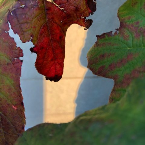 Oakleaf hydrangea green and red leaves against a cement wall background, like abstract art
