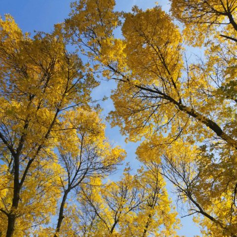 Autumn yellow treetops against a bright blue sky