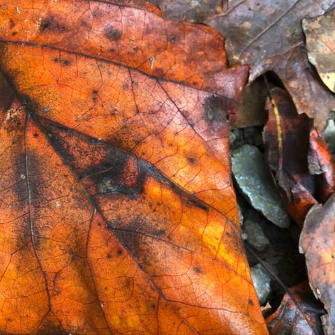 closeup of big orange leaf and small brown and green leaves