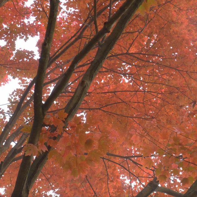 Reddish-orange autumn leaves, seen from below