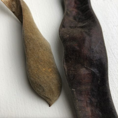 Two seed pods, one from a wisteria and one from a honey locust tree