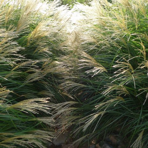 Fall grasses in the sunlight