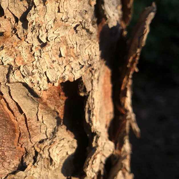 Closeup of bark on a pine tree