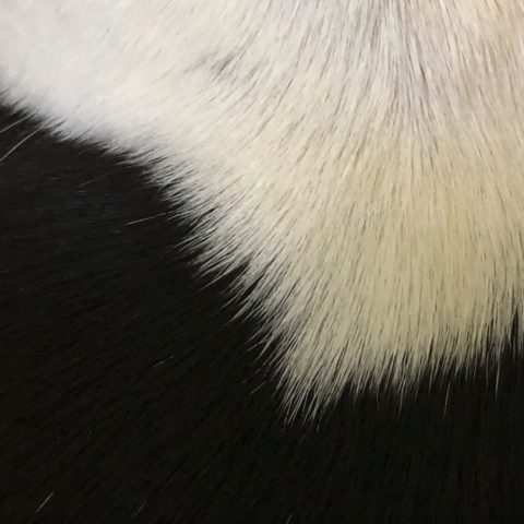A close-up of Leda's fur, white and black