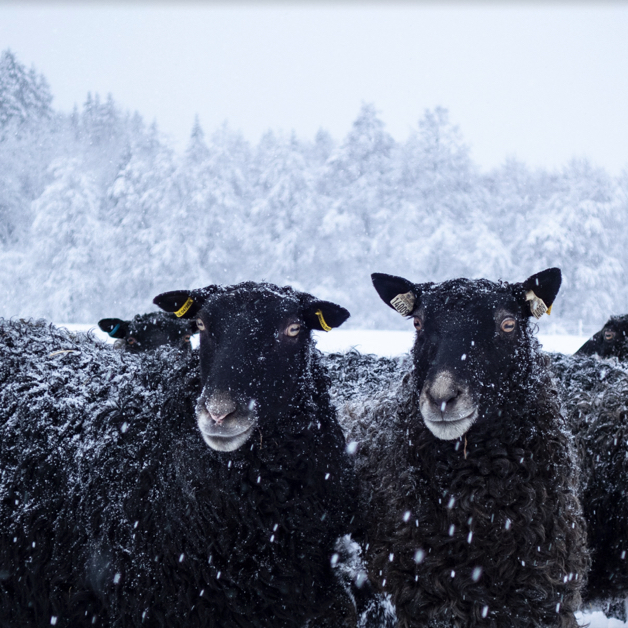 Black shee with eyes that look like brown buttons, standing in falling snow