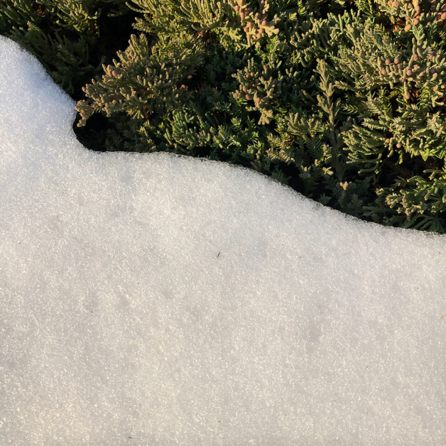 Closeup of snow on the ground, next to an evergreen, a large swath of white meeting one of green