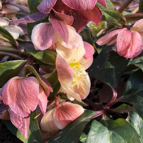 Pink hellebore flowers on dark green leaves