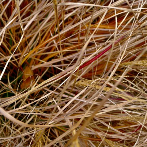 closeup of dry grasses, with a few yellow heads and red stalks