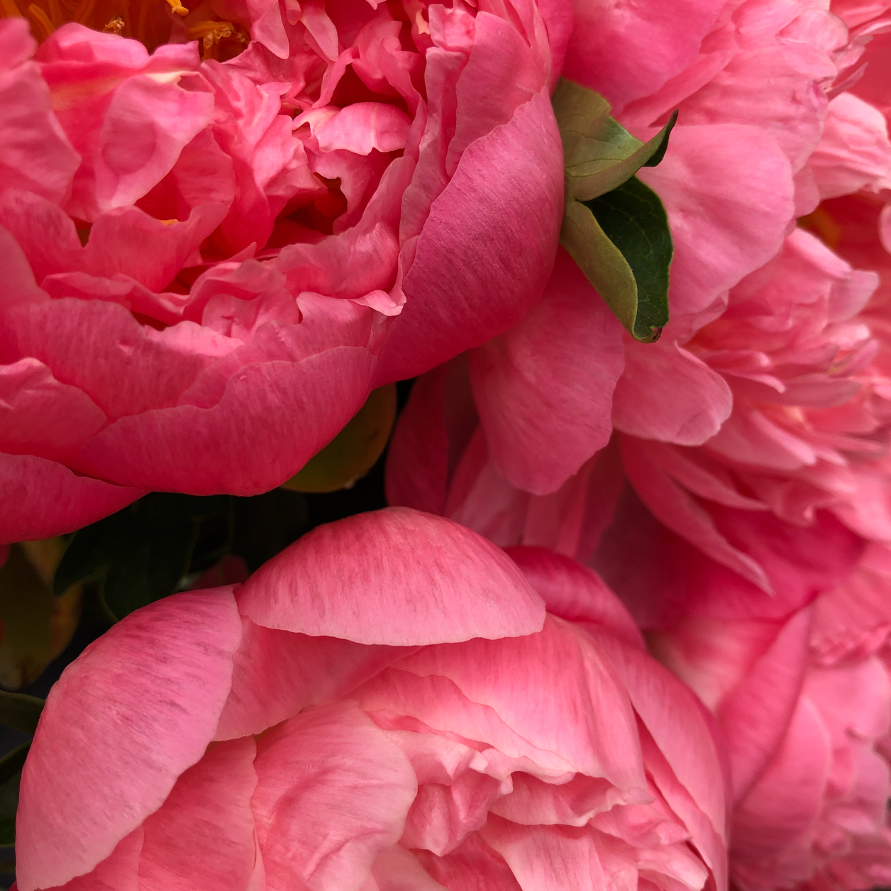 Closeup of three bright pink peonies with two small green leaves peeking through