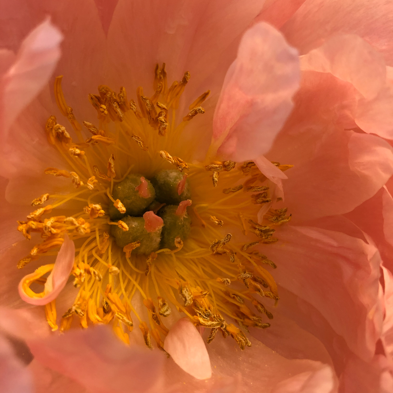 Close up of a coral charm peony, fully open