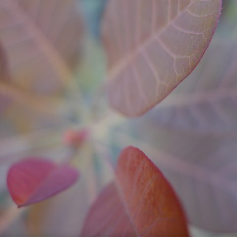 Closeup of a plant with redish-purple leaves, from above, slightly fuzzy/out of focus