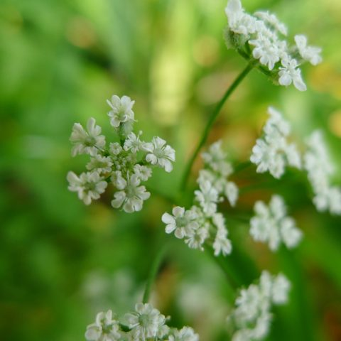 Clusters of tiny white flowers on a bright green background