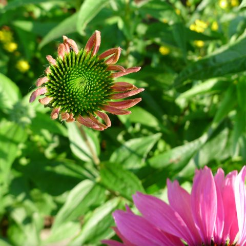 A purple coneflower just before blooming