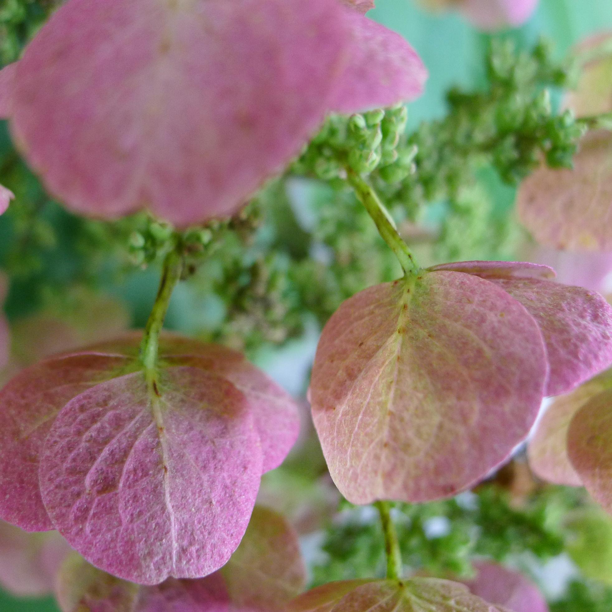 Closeup of three pink hydrangea flowers