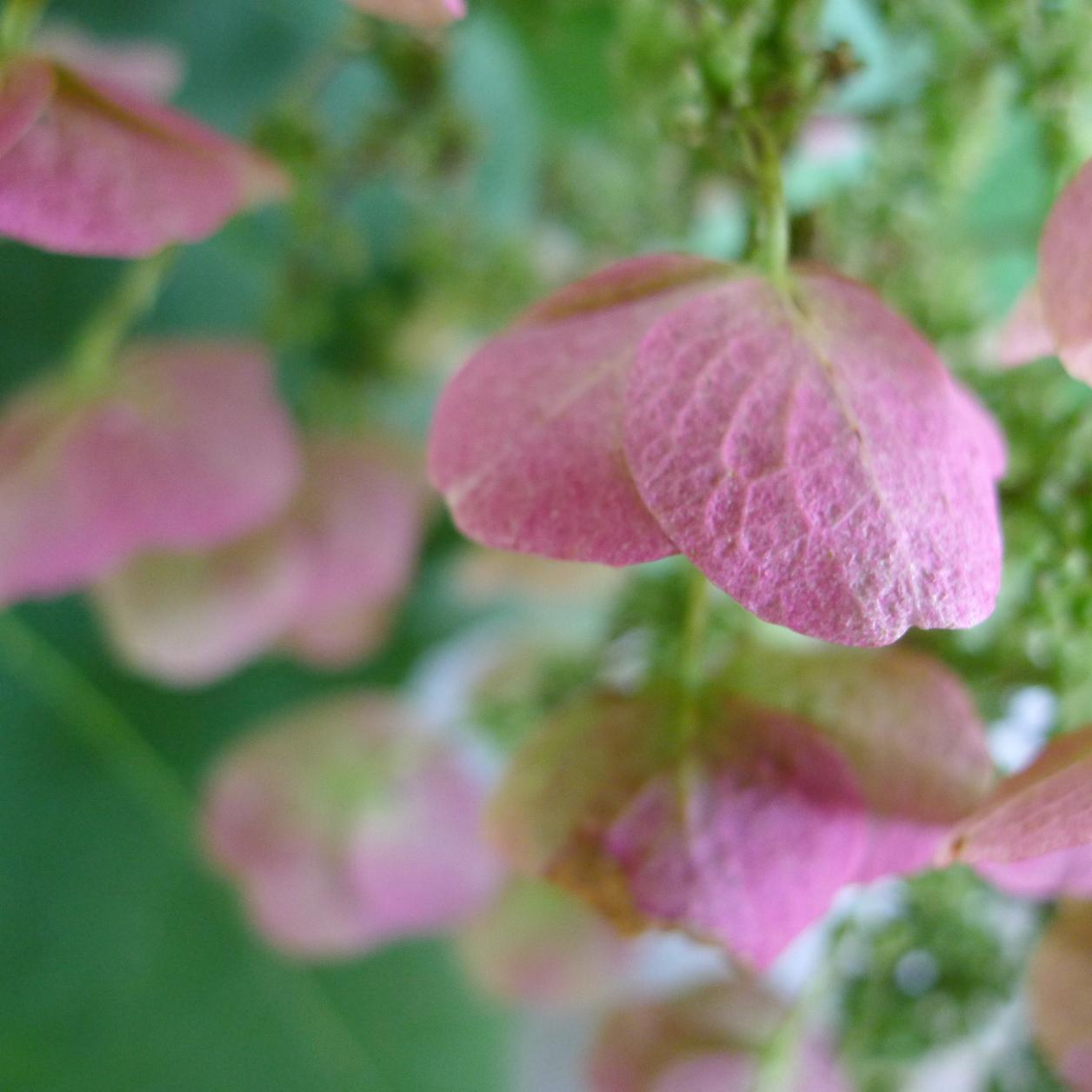 Closeup of many pink hydrangea flowers