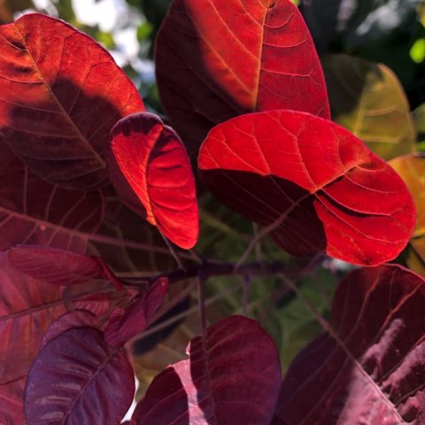 close up of purple leaves on a bush, backlit by sunlight, making some of the leaves bright read