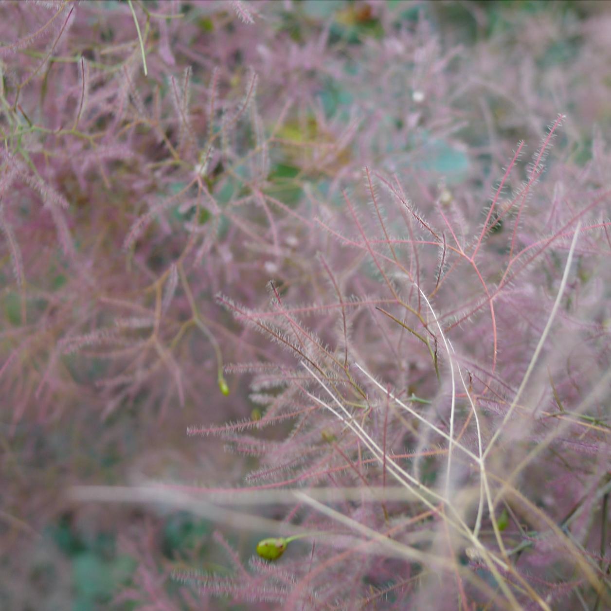 Closeup of a fuzzy purple plant looking like cloudy haze