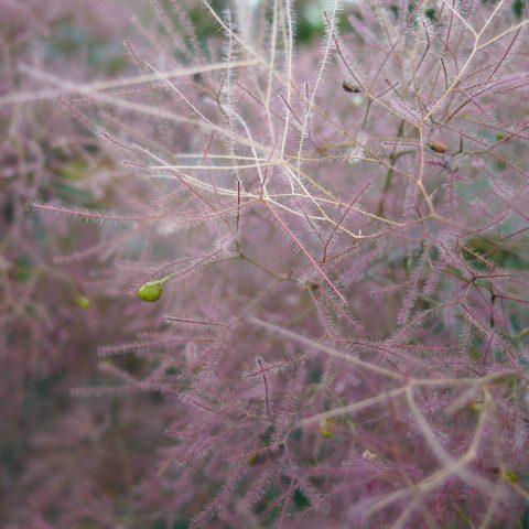 Closeup of a fuzzy purple plant looking like purple haze