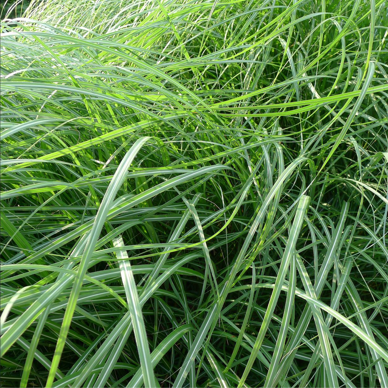 Thin, long blades of grass