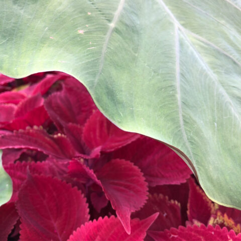 Part of one large green leaf above many smaller magenta leaves